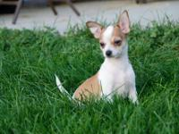 CAN BE CKC REGISTERED BROWN AND WHITE MALE CHI. CUTE,