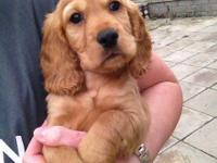 brown golden retriever puppies they are home trained