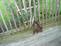 Pretty little 5 lb. chocolate toy poodle for sale. He