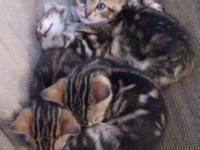 TICA signed up Bengal kittens, 4 fancy brownish marble