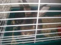 dark brown male rabbit about 8 months old. very sweet