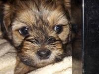 I am taking deposits for 3 Shih Poo puppies. They will