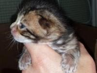 We have four beautiful brown spotted Bengal kittens