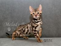Beautiful brown spotted bengal male kitten available.