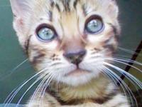 Here is my Beautiful Brown male Bengal kitten born on