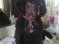 Brown standard Poodle female, 11 weeks old, healthy,