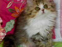 Sweet and curious , exploring and gentle female kitten