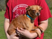 Brownie is a super cutie 3 year old Chihuahua mix,
