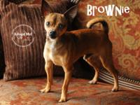 Brownie is a young, 7 lb, Min Pin/Chihuahua mix. His