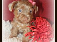Brownie is a cute little Chocolate Yorkshire Terrier.