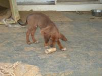 Brownie is an 11 week lab/hound mix.  The dog is good