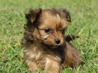 Brownie is almost 8 weeks old. Her mother is a Morkie