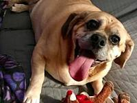 Bruce's story Bruce is a 6 year old Puggle who, as you