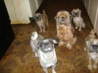 mix! puppies 3month BRUGS! mommy pug, daddy