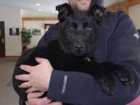 Bruin is an awesome all black male pup born on Sept 29,