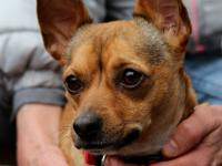 Brusier is a three-year-old Chihuahua Mix.  This little