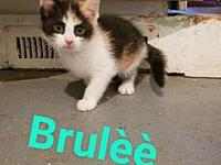 Brulee's story Brul is all spunk! In typical calico