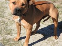 Bruno is a large male Bulldog, brown and white in