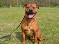 Bruno is a handsome 2 year old Boxer mix, weighing 70