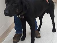 Bruno's story Bruno is a 4 year old Lab X male. He is