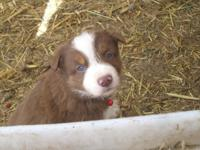 Bruno is an APRI signed up Red/White Boundary Collie