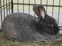 Bruno is a handsome gray bunny looking for a loving