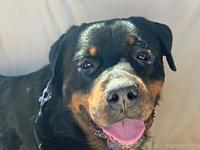 My story Bruno is a young Rottweiler boy that was