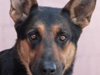Brunough von Nitro is a handsome 1-2 year old German