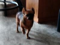 Brussel Griffon female, 3 yrs old, spayed. Known as the