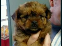 Adorable rare Brussels griffin yorkie crosses .Up to