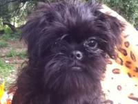 Brussels Griffon Puppies ready now . Two Belge Rough