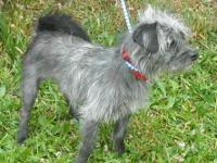 Brussels Griffon - Ernie - Small - Adult - Male - Dog
