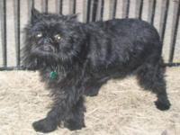 Brussels Griffon - Gibby - Small - Adult - Male - Dog
