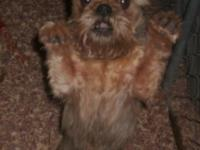 """Sully"" is a belge rough coat male Brussels Griffon who"