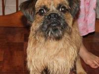 Brussels Griffon - Mugsley - Small - Adult - Male -