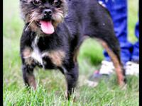 Brussels Griffon - Pizzaz - Small - Young - Female -