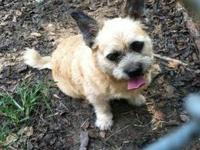 Brussels Griffon - Pumpkin - Small - Adult - Female -