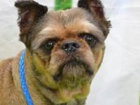 Brussels Griffon - Tinker - Small - Adult - Female -