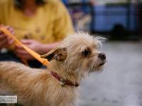 Brussels Griffon - Tinkerbell - Small - Young - Female