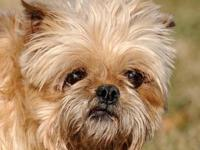 Brussels Griffon - Zesty Zue - Small - Adult - Female -