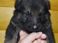 Brutus is a sable , full AKC reg. German Shepherd male