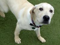 Bryan is a 6-month-old neutered male yellow lab. Bryan