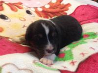 BTF # 3 was born 12/14/2014 she is a gorgeous black tri