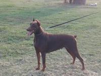 AKC REGISTERED red male Doberman pinscher puppy. Born
