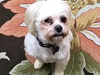 Bubba's story Bubba is a spunky 5 year old male Lhasa