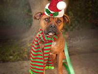 Bubbles's story Bubbles is a Boxer mix who weighs 36