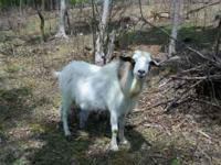 I have a 2 year old goat I need to move if interested