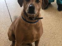 buck is a 4-year-old lab mix.  buck adoption fee is