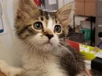 Buckeye's story I'm a playful kitten looking for the