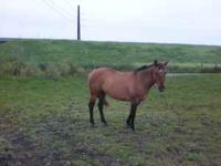 11 yr old buckskin mare stand 14.2 broke to ride not